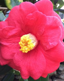 Plants For Spring Colour. Bright pink camellia flower.