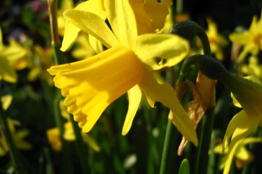 Is Your Garden Spring Time Ready, Daffodils