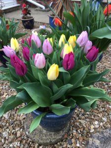 Pink, mauve and lemon Tulips