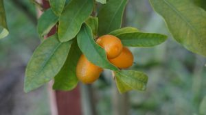 Kumquat shrub