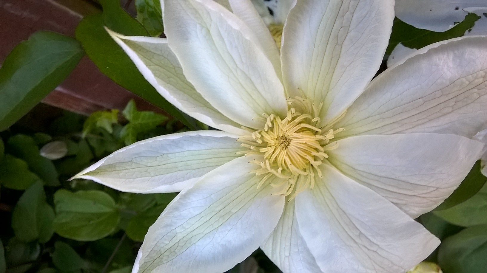 How To GrowA Clematis. white clematis flower. How to grow clematis