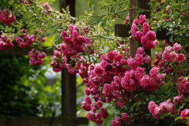How Do You Grow Roses Secrets To Success