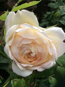 delicate pale apricot rose