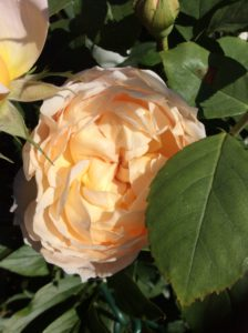 apricot shrub rose