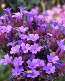 Perennial Plants. First Year Flowering. Viburnum