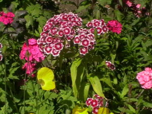 Sweet William Biennial plants
