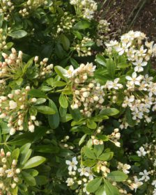 Hardy Evergreen Flowering Shrubs. Pyracantha