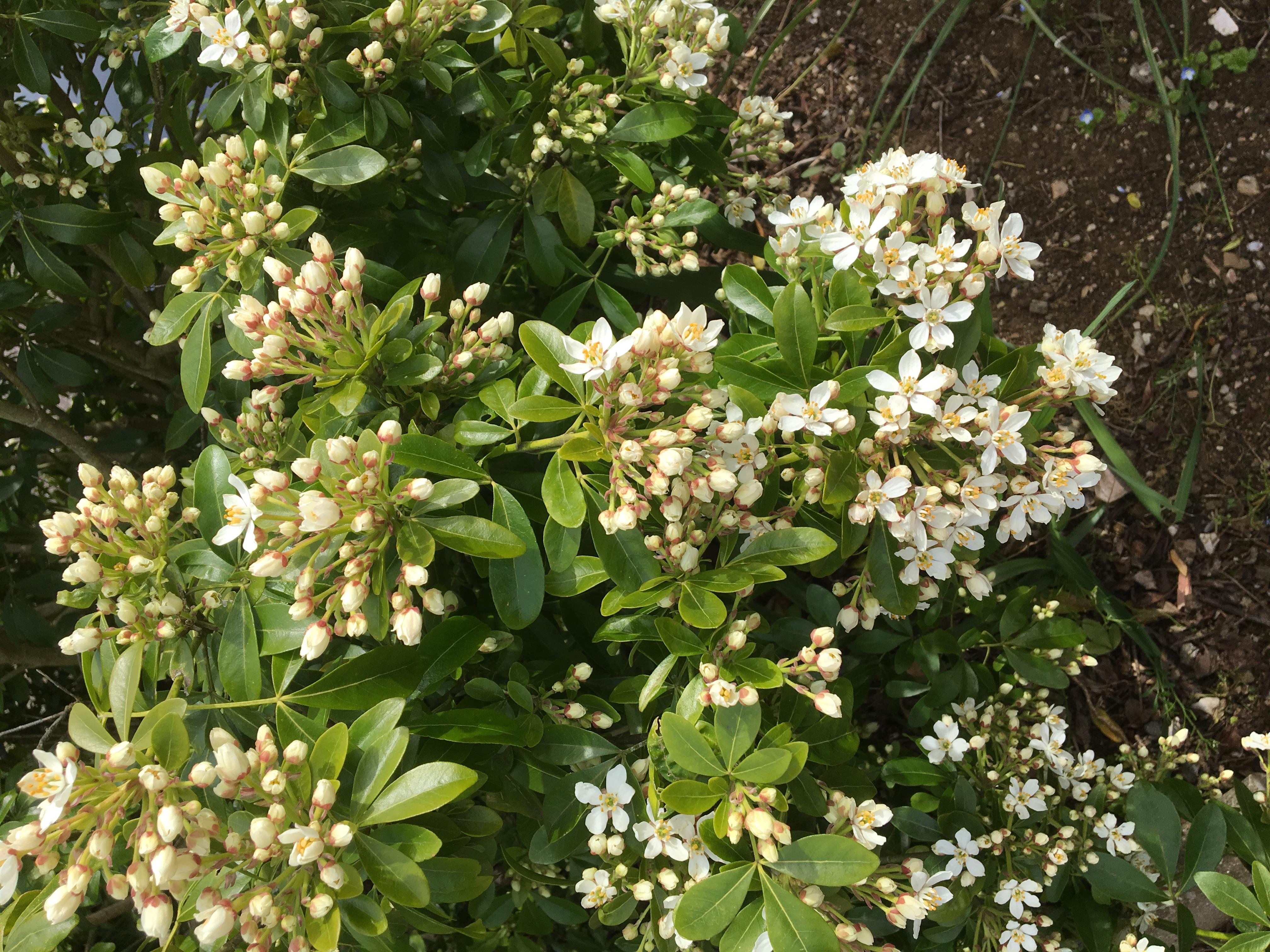 Hardy Evergreen Flowering Shrubs. Pyracantha
