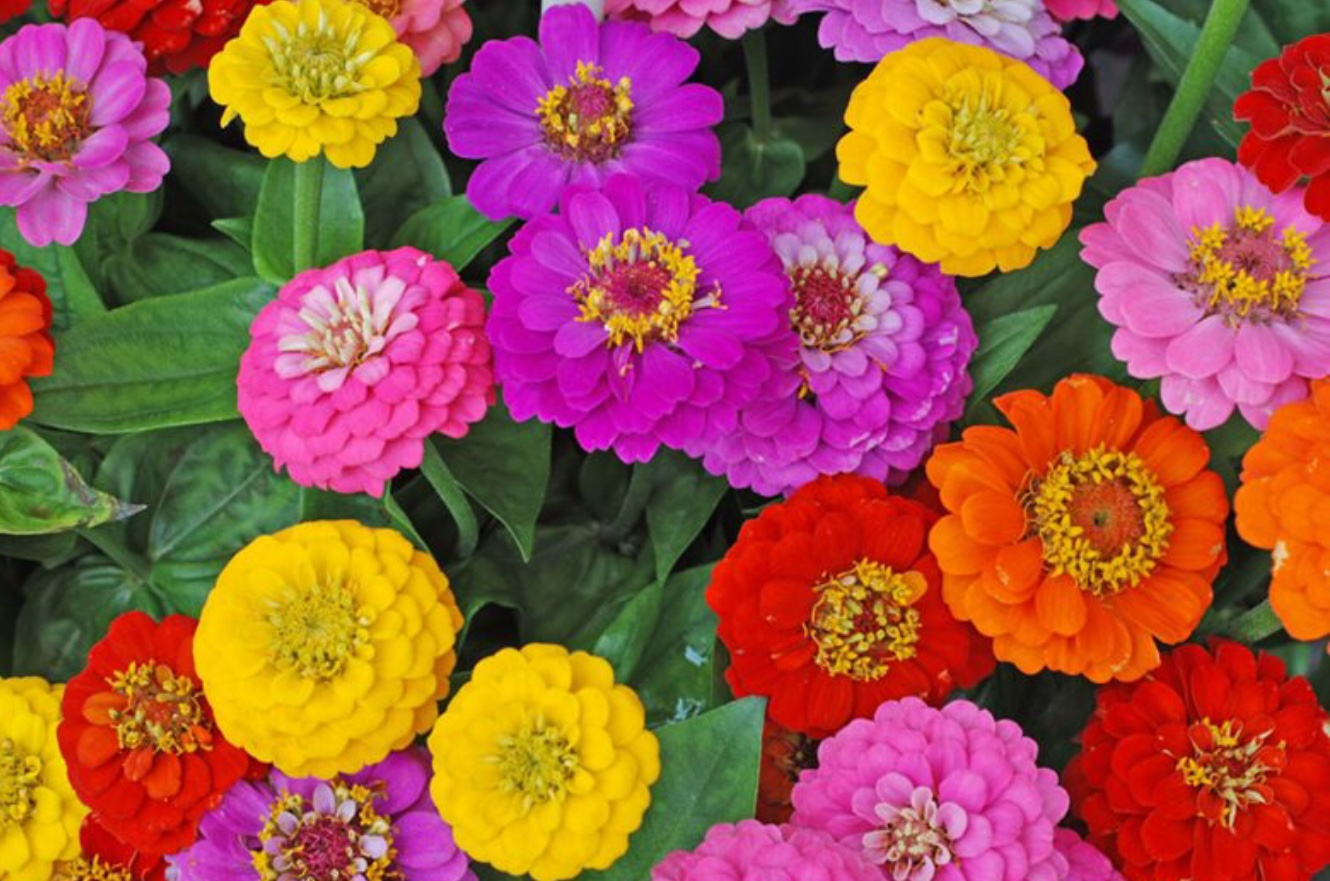 All Summer Blooming Flowers Colourful Zinnias