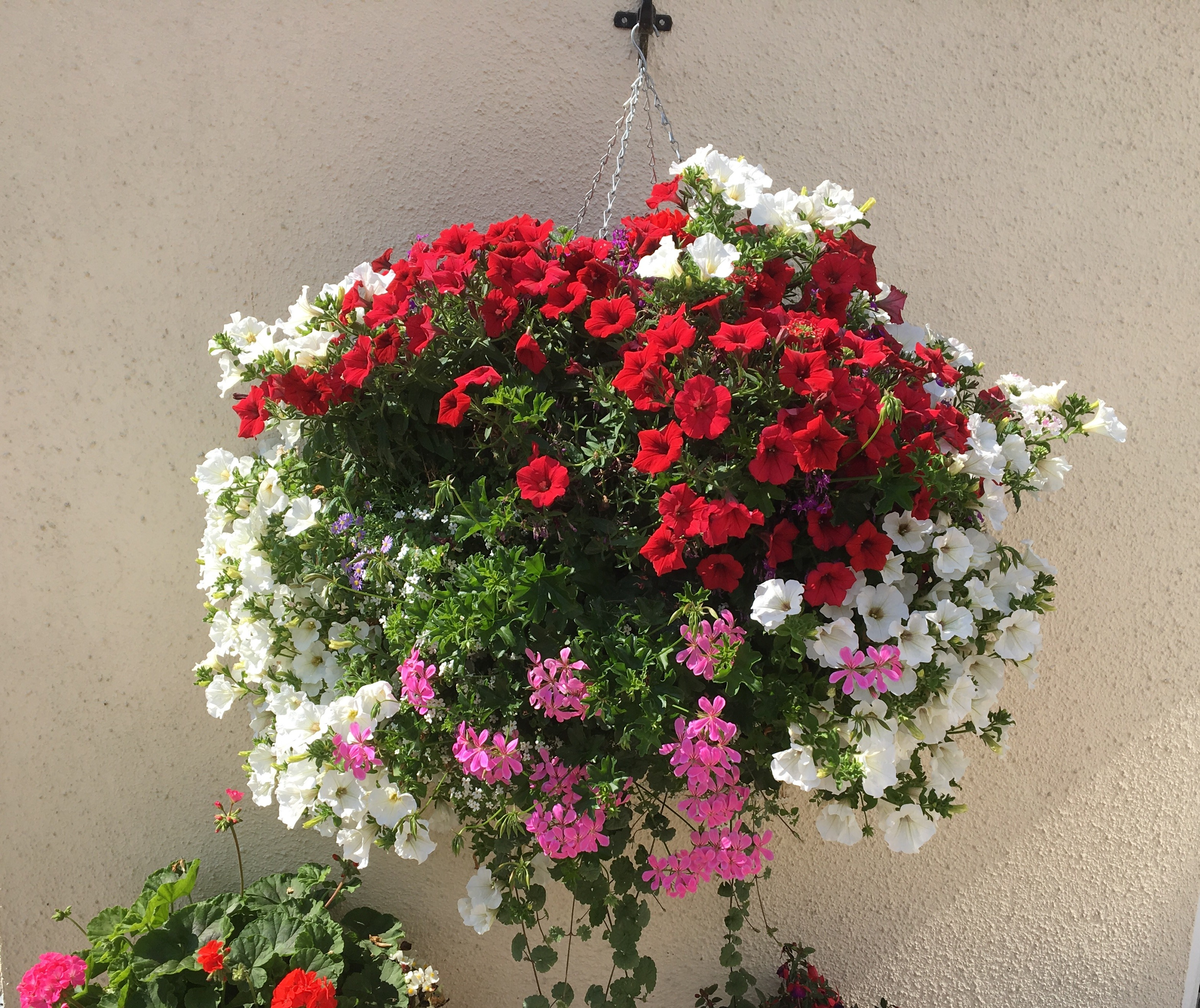 Hanging basket with white petunia, red begonia and pink geraniums The best plants for hanging baskets