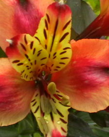 What Jobs To Do In The Garden In July. Alstroemeria Indian Summer