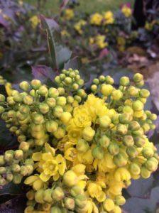 Mahonia grows well in clay soil