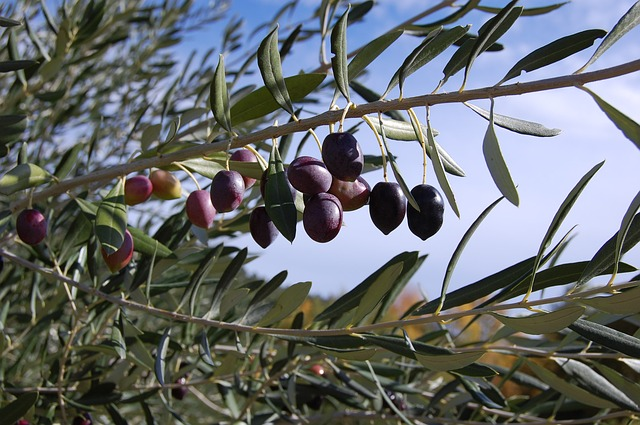 How To Make A Mediterranean Garden. Olive tree