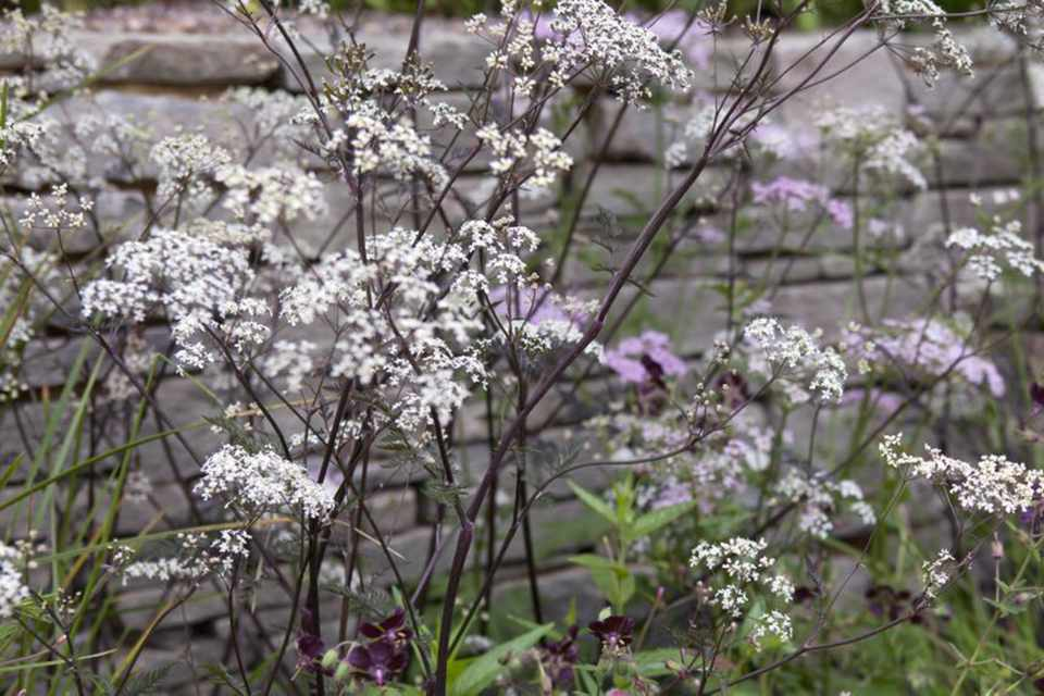 Cow Parsley Ravenswing
