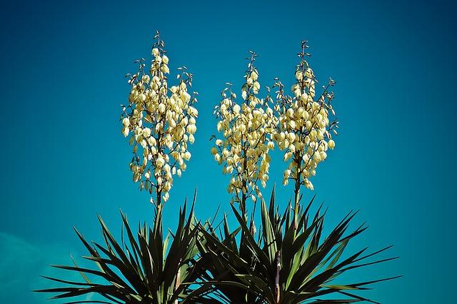 Flowering plants for full sun. Yucca