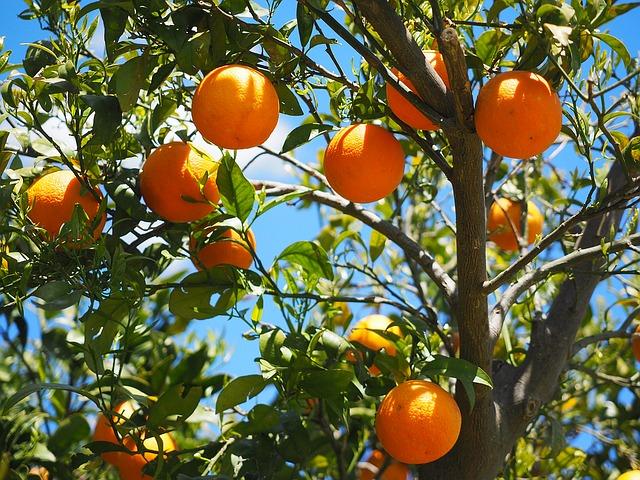 How To Make A Mediterranean Garden. Citrus Trees