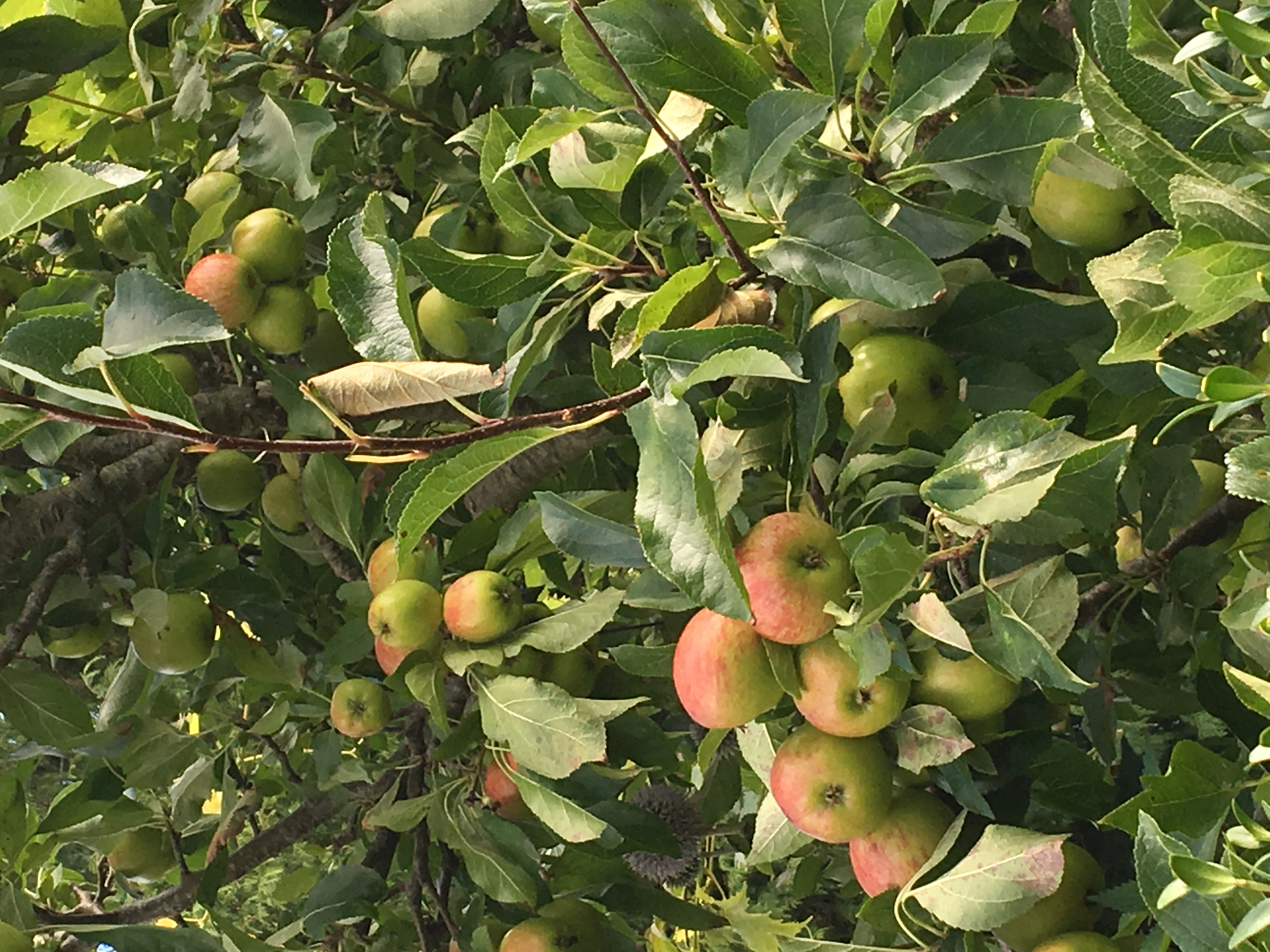 Harvest apples