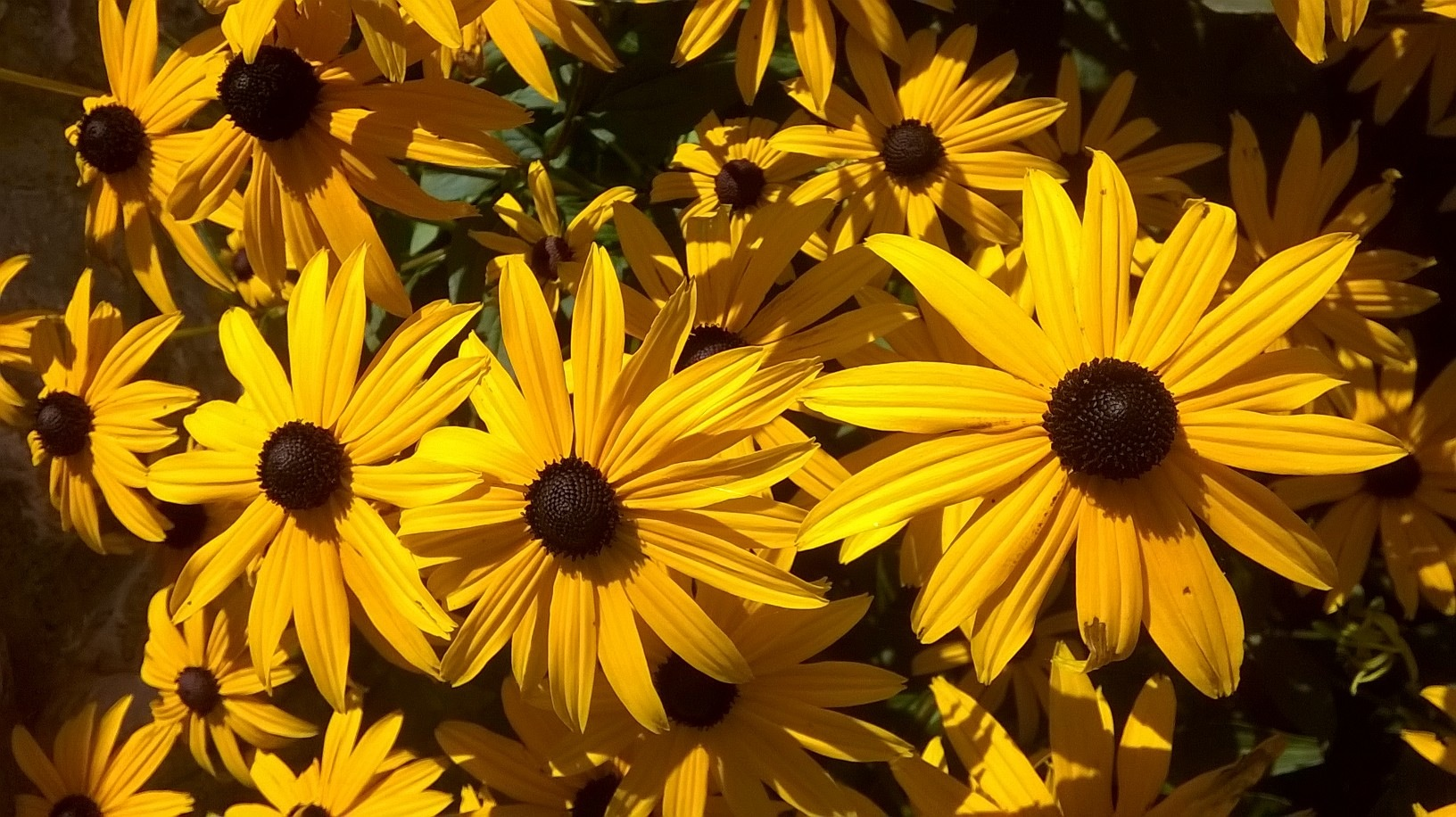 Rudbekia, a daisy like flower in golds and orange