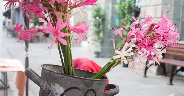 Nerrines, pink autumn flowering bulbs