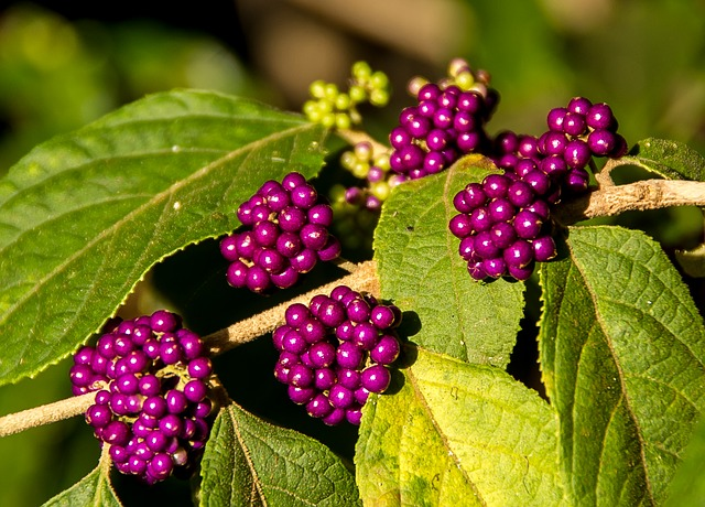 Purple berries of the Calicarpa
