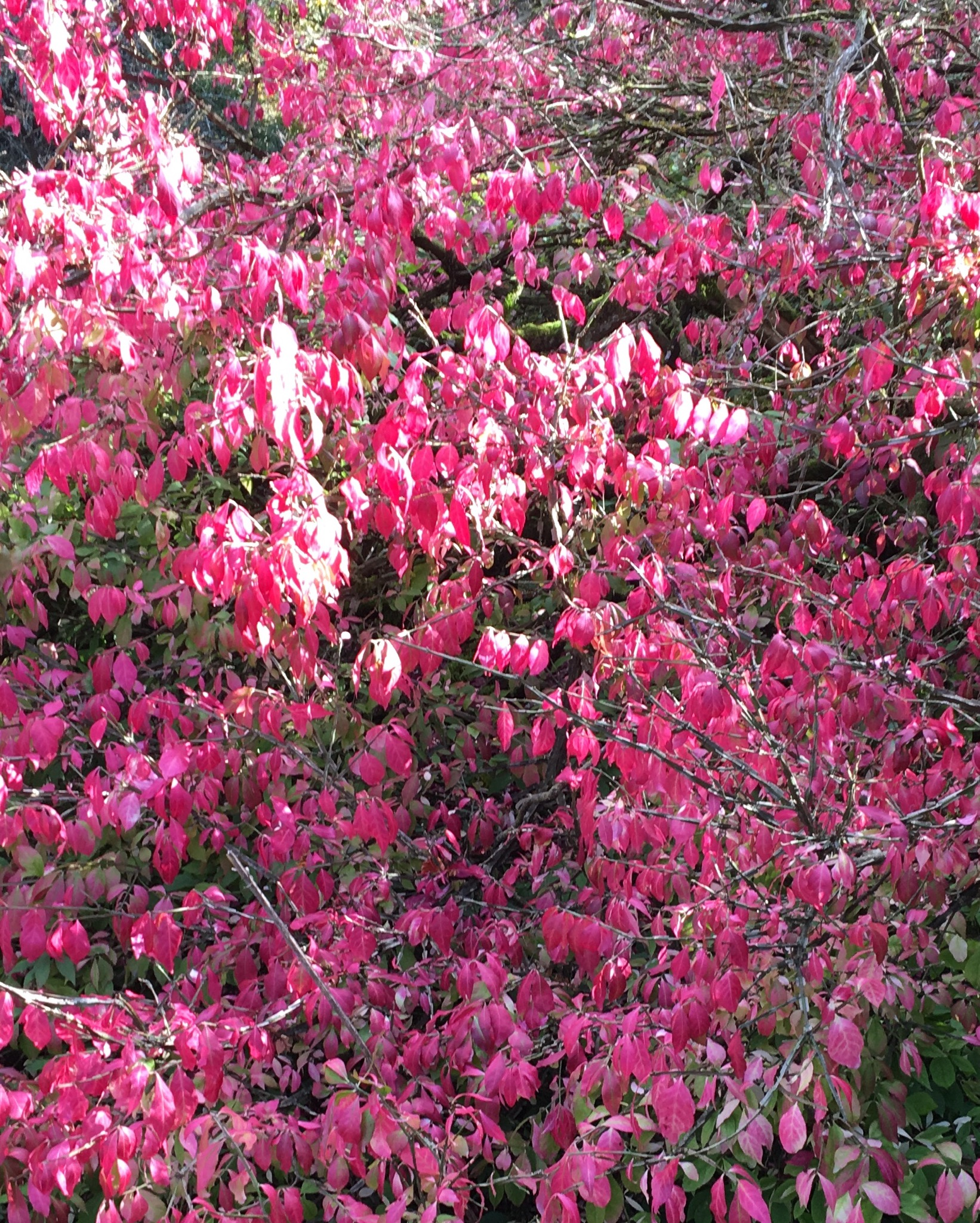 Euonymus Alatus Trees and Shrubs for Winter colour