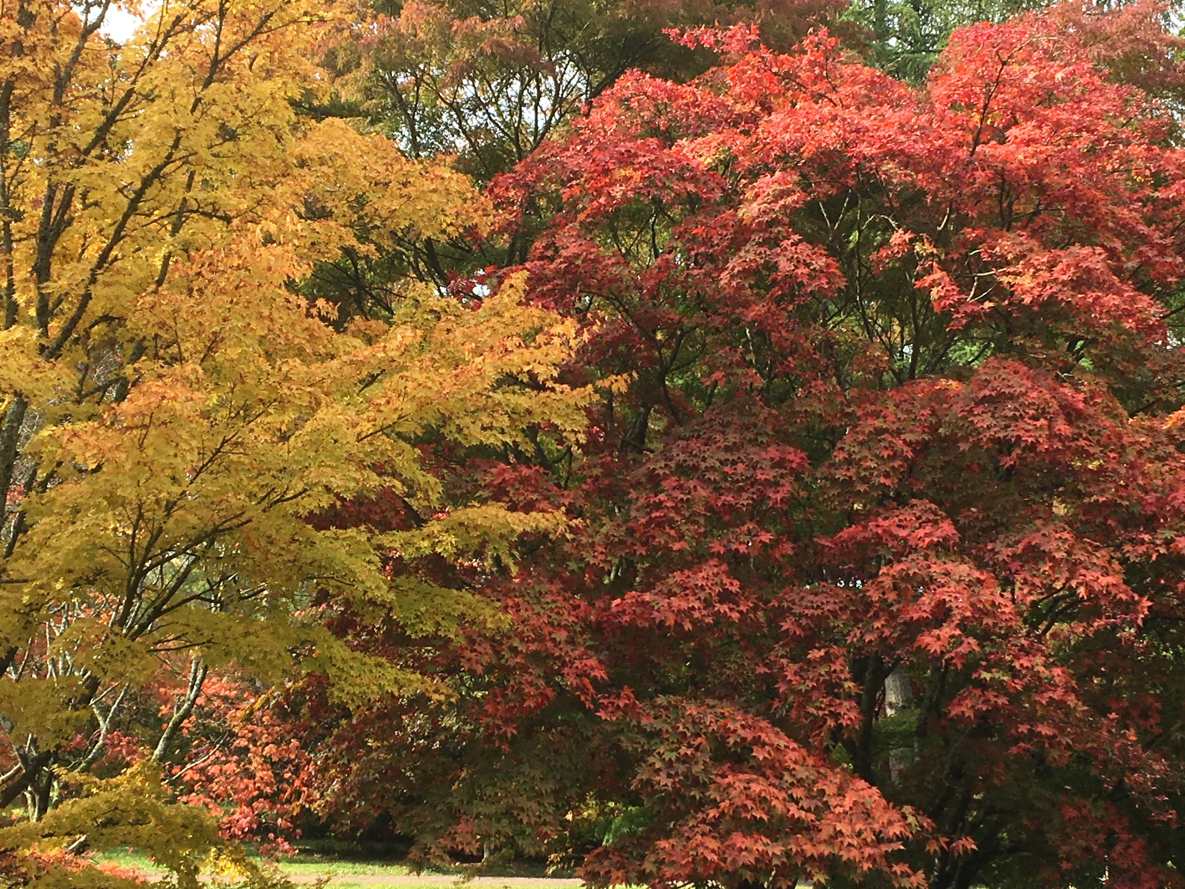 Acer trees for autumn and early winter colour