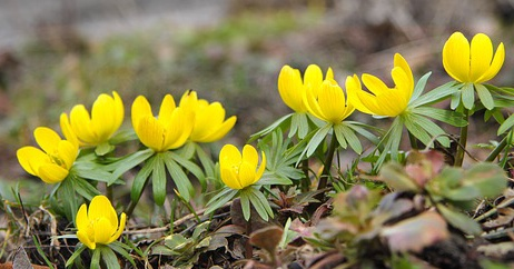 Bright yellow aconites