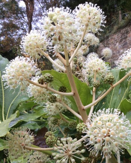 Plants For Winter Interest. Close up of the tiny white flowers and berries on a fatsia japonica