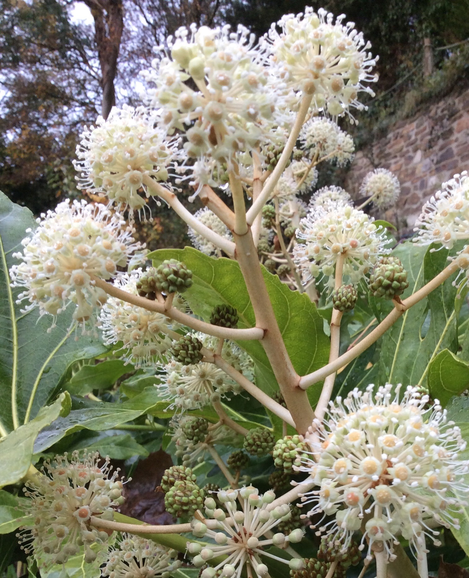 Close up of the tiny white flowers and berries on a fatsia japonica