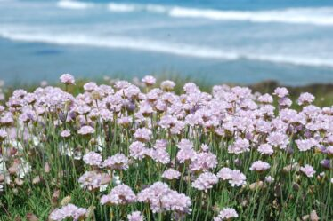 20 Best Plants For A Coastal Garden Pink seathrift growing on cliff, best plants for a coastal garden