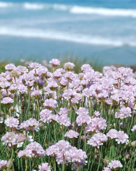 Pink seathrift growing on cliff, best plants for a coastal garden