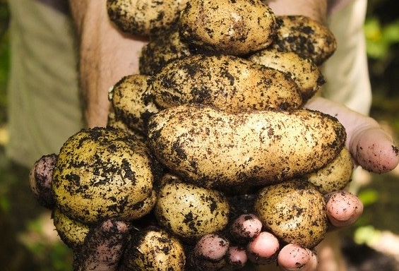 A handful of new potatoes
