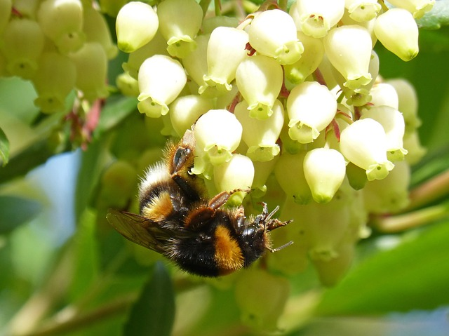 Strawberry Tree Flowers and Bees