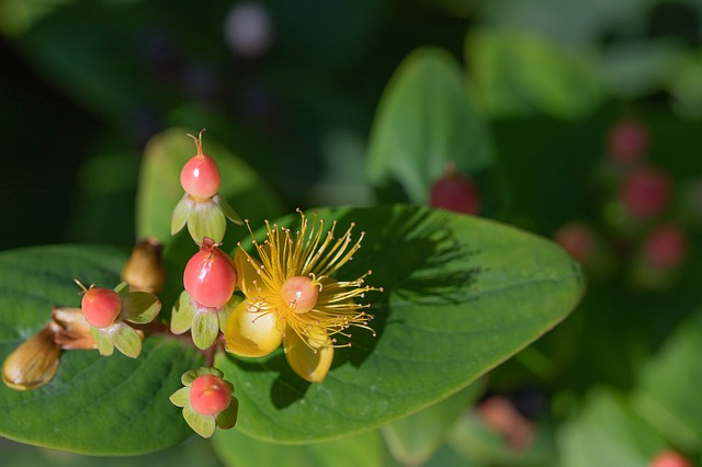 Hypericum flower and berries