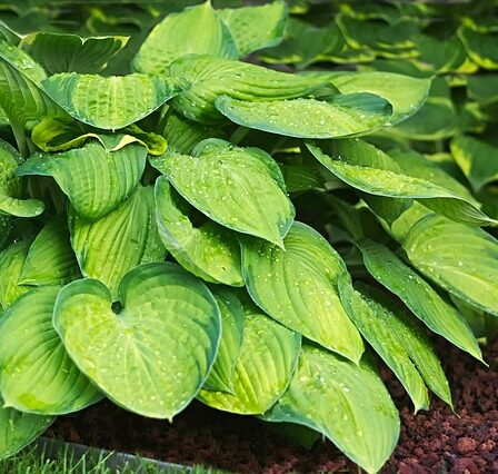 Hostas, plants that like a shade garden.