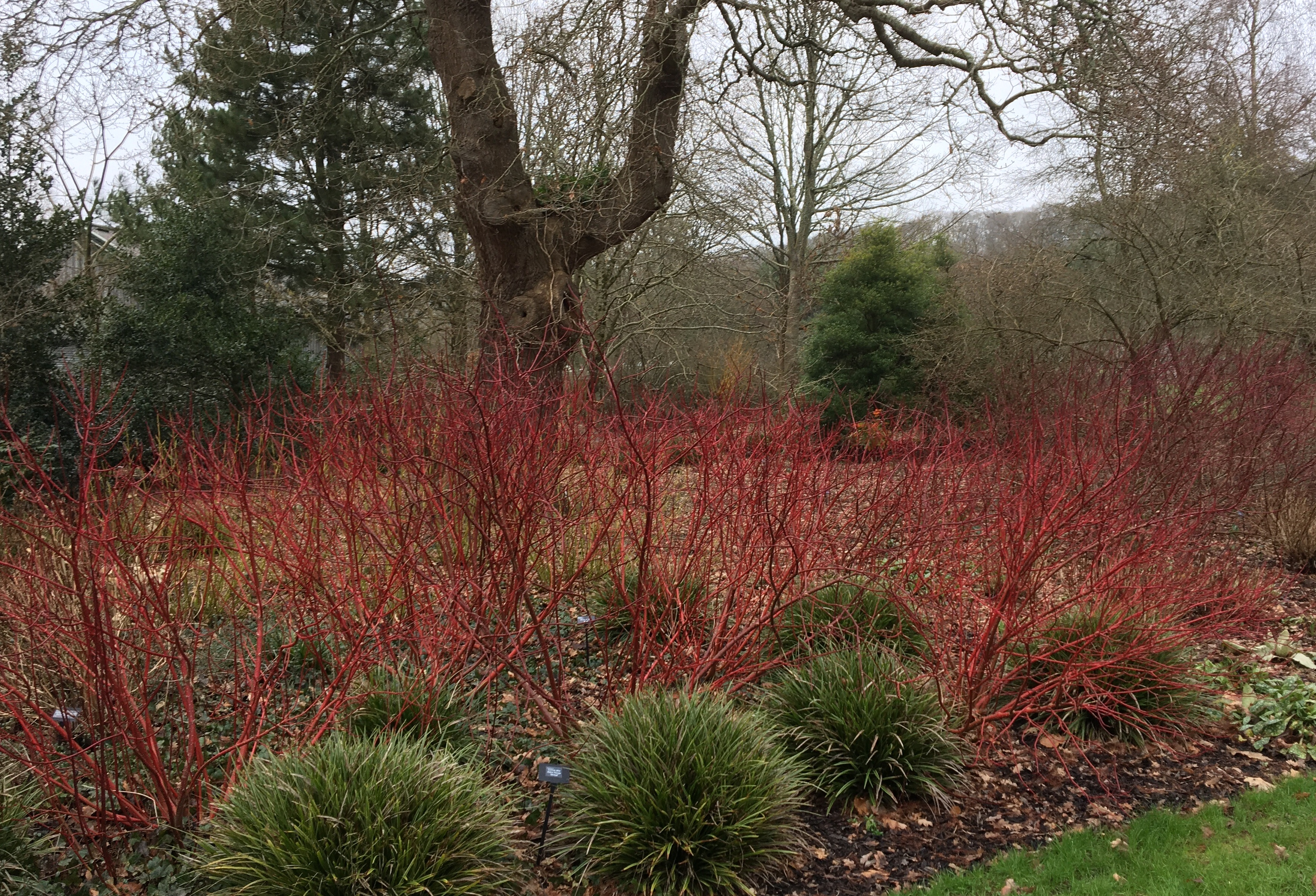 Red cornus stems in a winter garden what jobs to do in the garden in February