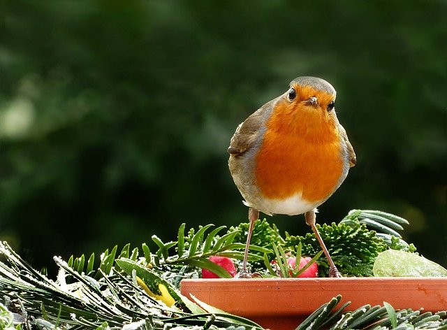 Robin sat on a terracotta bird feeder what jobs to doin the garden in February