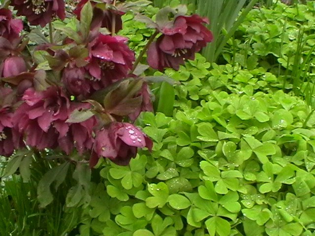 lime green three leafed oxalis, 20 best flowering ground cover plants