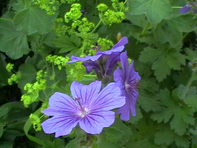 hardy geranium with alchemilla mollis, 20 best flowering ground cover plants