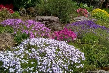 Creeping phlox and aubretia on a garden rockery