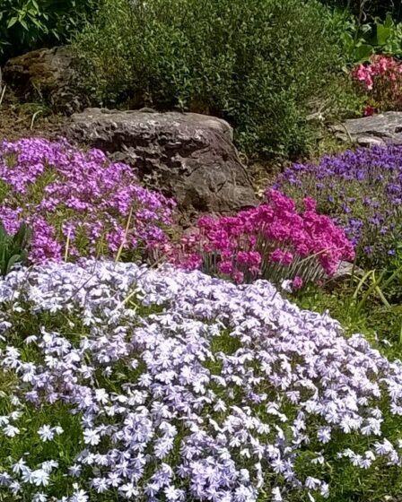 Creeping phlox and aubretia on a garden rockery