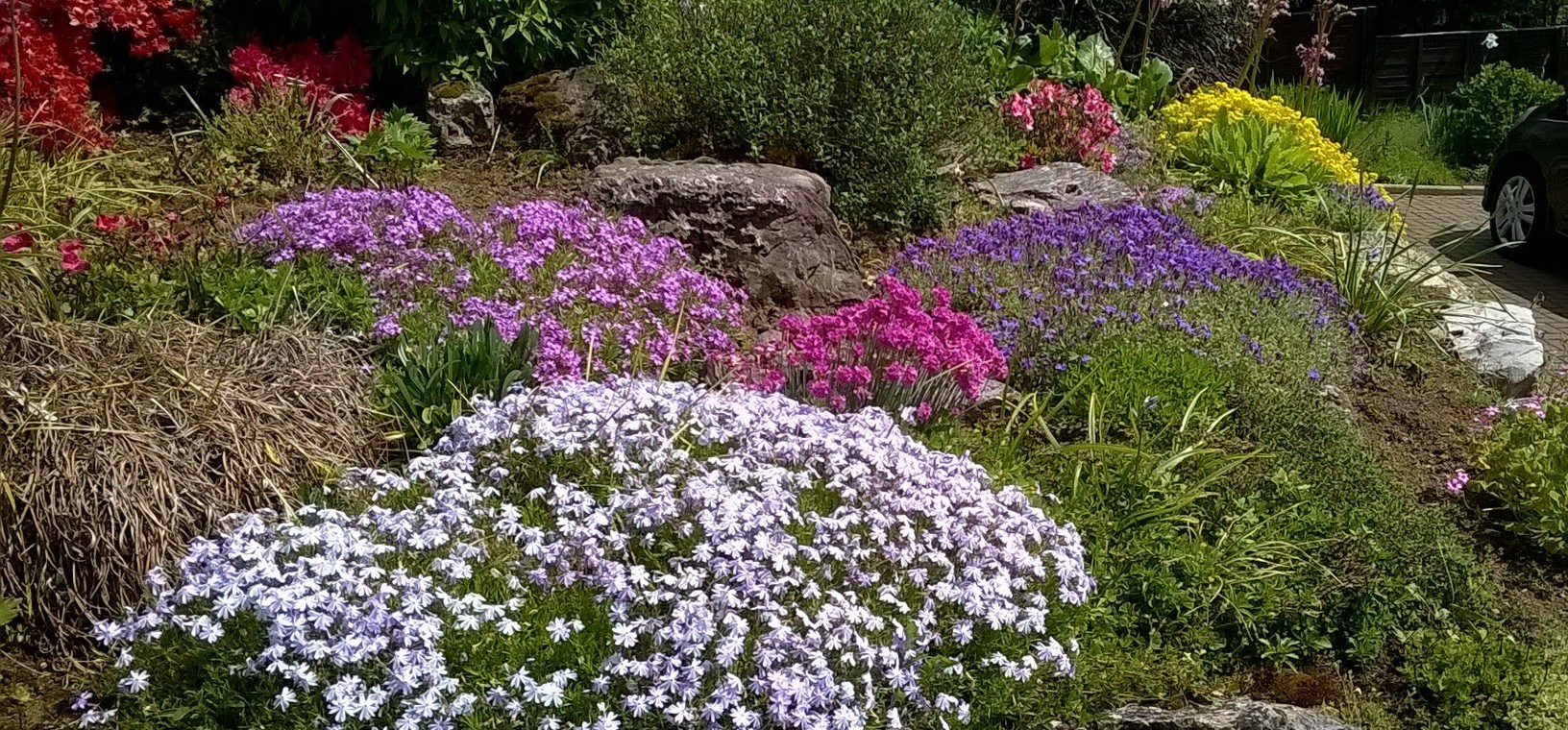 Creeping phlox and auberetia on a garden rockery