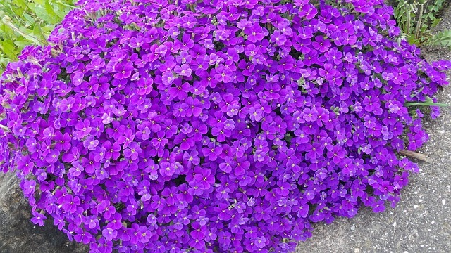 Deep purple Aubretia
