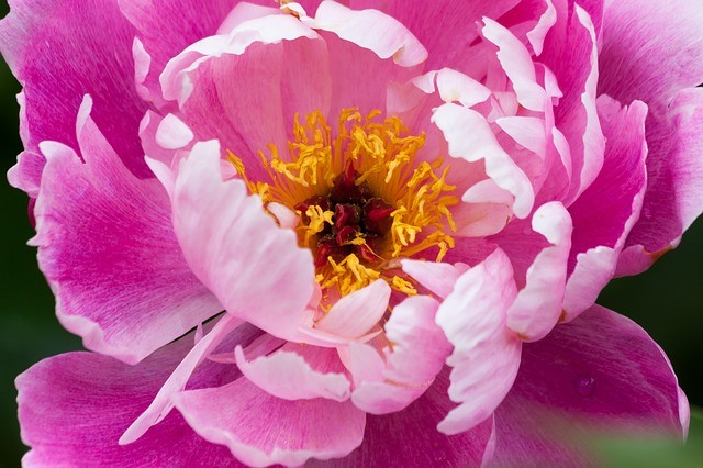 Itoh peonies, how to grow peonies