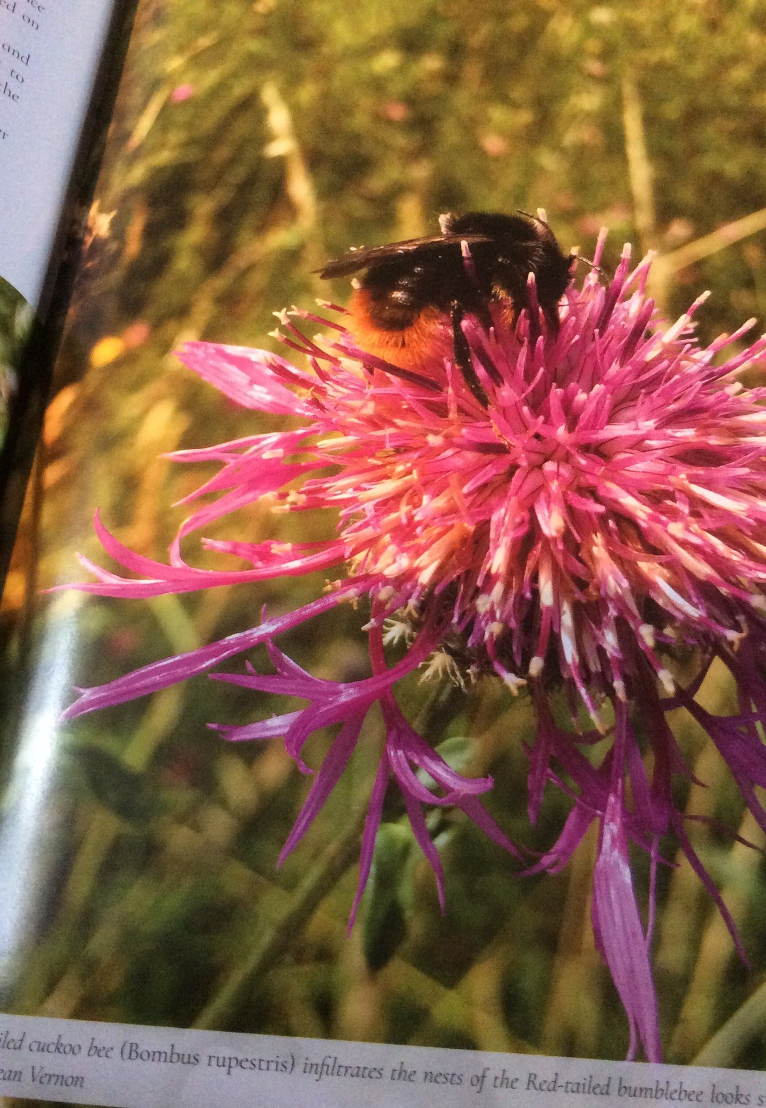 Red Tailed Cuckoo Bee, The Secret Lives Of Garden Bees