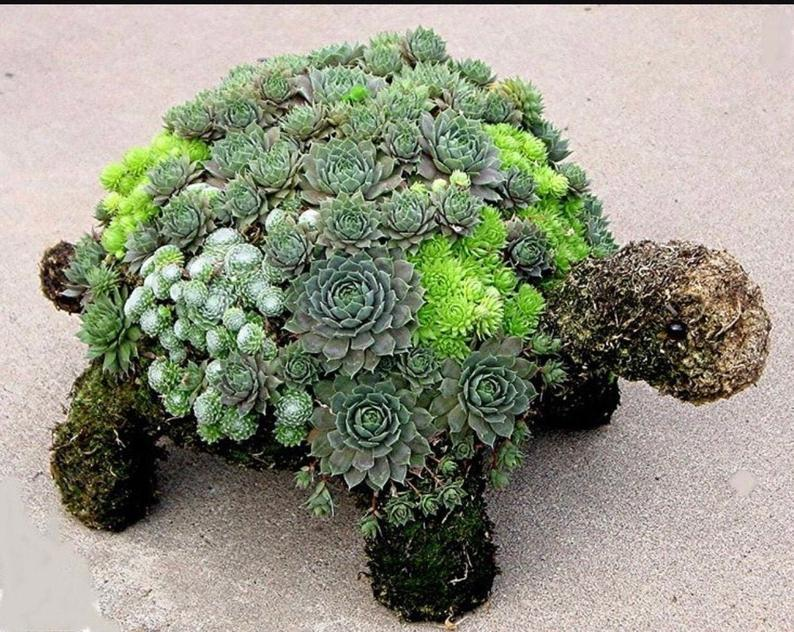 A succulents collection in a Turtle Planter