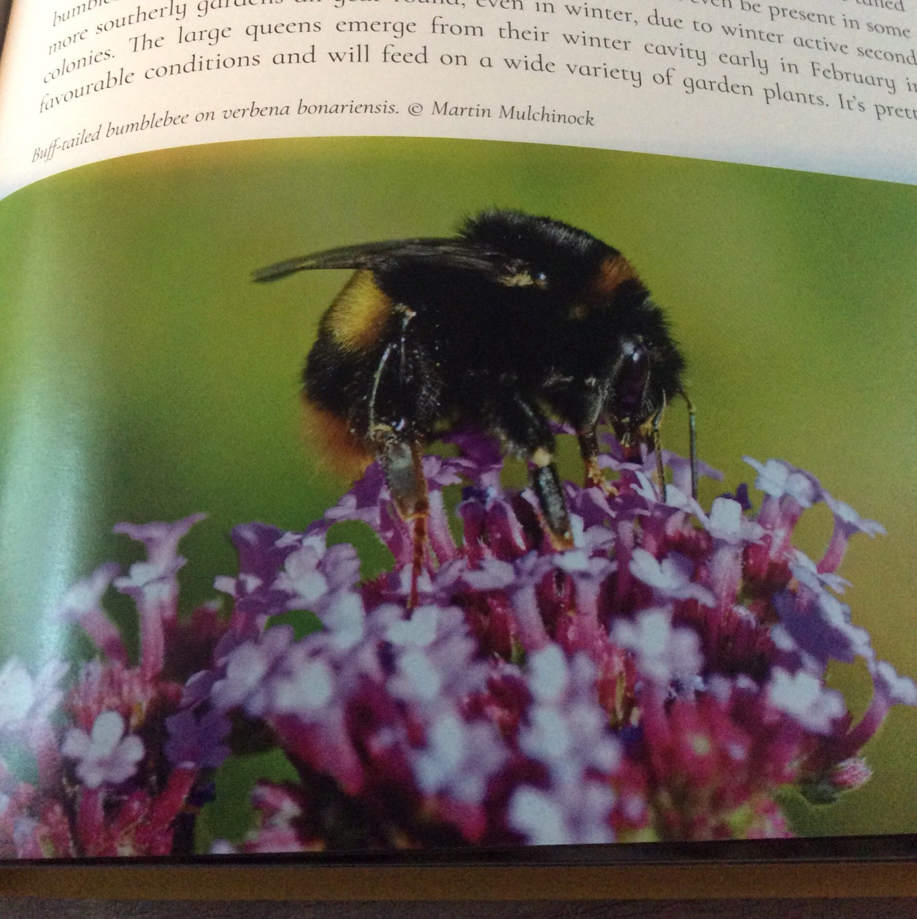Buff Tailed Bumble Bee, The Secret Lives Of Garden Bees