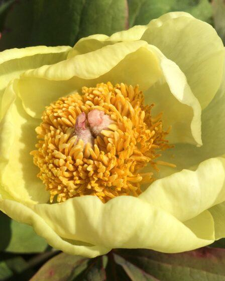 How To Grow Peonies In Your Garden. tree Peony flower, lemon yellow with a dark yellow centre, How to grow peonies.