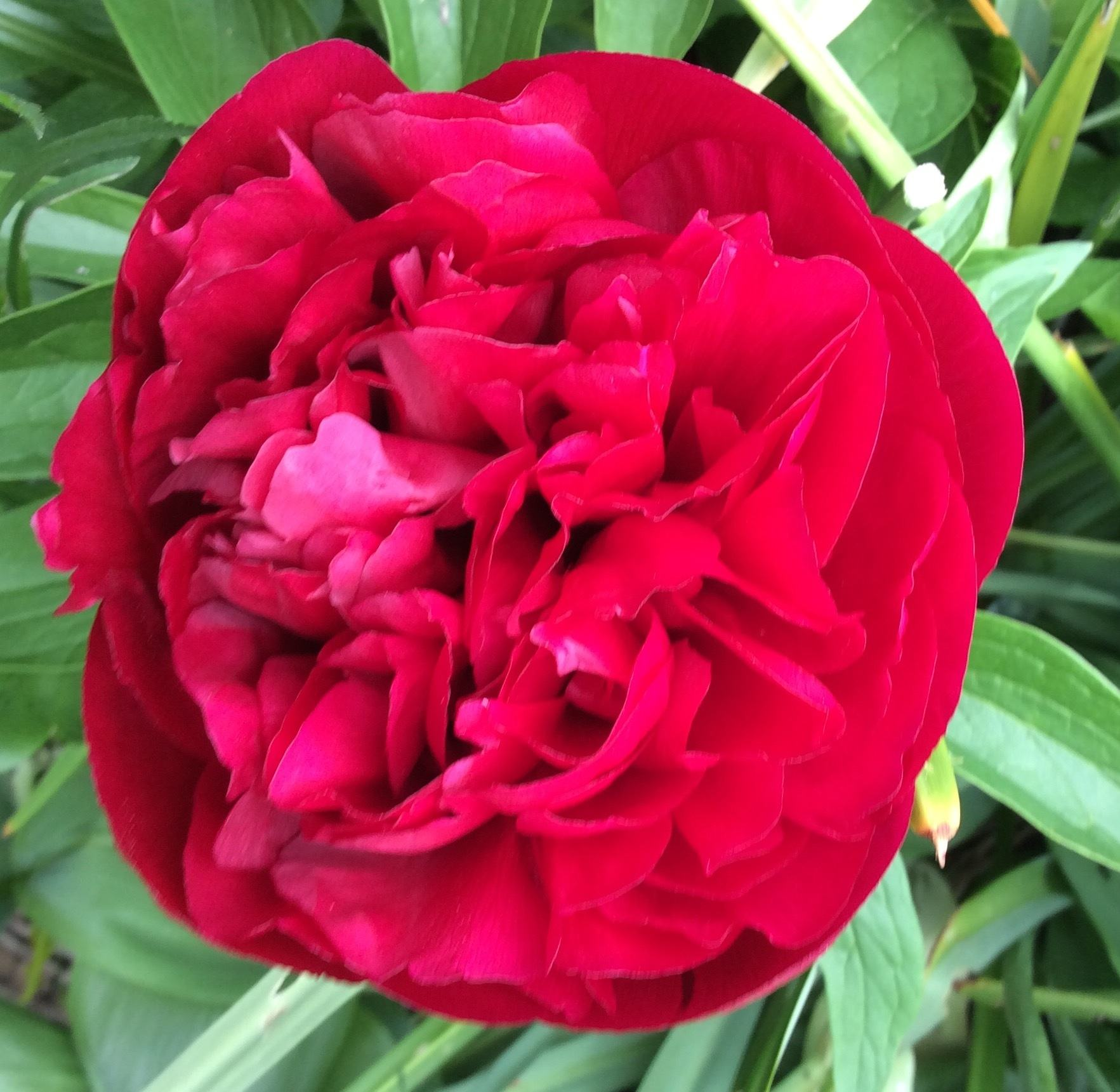 Peony Big Ben How to grow peonies