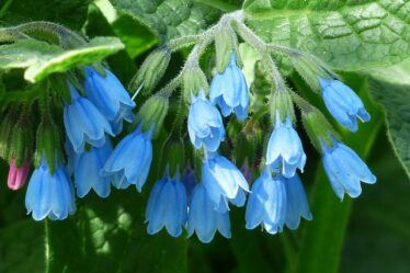Blue flowering comfrey Best Organic Fertiliser To Help Your Garden Grow